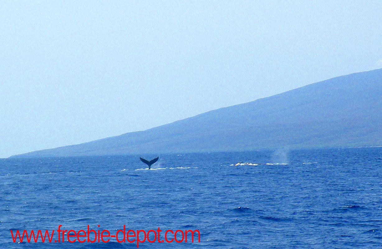 Free Maui Whale Watching